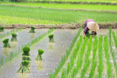 Vietnam Farmer growth rice on the field Royalty Free Stock Photo
