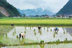 Vietnam Farmer growth rice on the field Stock Image