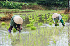 Vietnam Farmer growth rice on the field Royalty Free Stock Photos