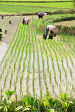 Vietnam Farmer growth rice on the field Royalty Free Stock Images