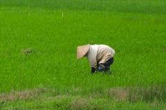 Vietnam farmer rice planting. On their field, Hanoi, Vietnam Royalty Free Stock Photos