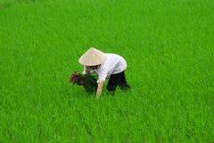 Vietnam farmer rice planting. On their field, Hanoi, Vietnam Royalty Free Stock Image