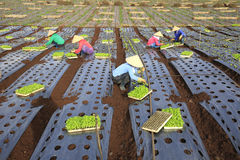Vietnam farmers cultivating lettuce in field Stock Images