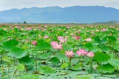 Vietnam flower, lotus flower, lotus pond. Vietnam flower, lotus flower bloom in pink, green leaf on water, lotus pond at Nha Trang countryside, Viet Nam, ecology stock images