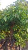Vietnam gräsplanträd royaltyfri fotografi