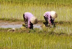 Vietnam, Halong bay road: rice field Stock Image