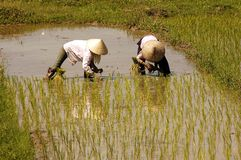 Vietnam, Halong bay road: rice field Stock Images