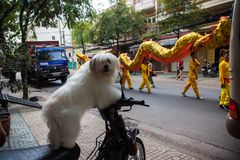 Vietnam - January 22, 2012: The dog looks at the dragon dance.Vietnamese new year Stock Images