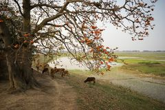 Free Vietnam Landscape. Blossoming Bombax Ceiba Tree Or Red Silk Cotton Flower By Old Temple With A Herd Of Cows On Countryside Dyke. Royalty Free Stock Photography - 111214657