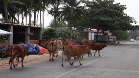 Vietnam, Mui Ne street-December 28, 2013. Cows walks alone stock video