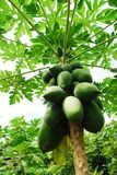 Vietnam papaya tree Stock Photography