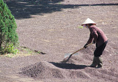 Vietnam people working in coffe plantation Royalty Free Stock Image
