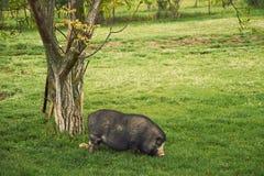 Vietnam pig Stock Images