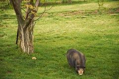 Vietnam pig Royalty Free Stock Photos