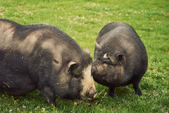 Vietnam pig Royalty Free Stock Images