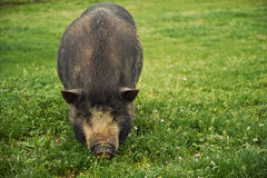 Vietnam pig Stock Photography