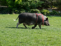 Vietnam pig. Royalty Free Stock Images