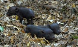 Vietnam piglets Stock Image