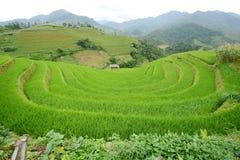 Vietnam rice terrace Royalty Free Stock Photo