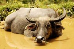 Vietnam, Sapa: Wasserbüffel lizenzfreies stockbild