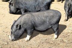 Vietnam-schwarzes kleines Schwein, das auf Lehmfußboden isst Lizenzfreie Stockbilder