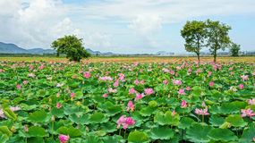 Vietnam Travel, Mekong Delta, Lotus Pond Royalty Free Stock Images