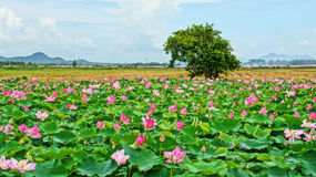 Vietnam travel, Mekong Delta, lotus pond Stock Photos