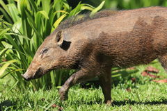 Vietnam warty pig Stock Images