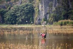 Vietnam women worked at the rice field to plantation rice in raining season. Stock Image