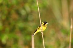 Vietnames Greenfinch Arkivfoton