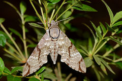 Vietnames hawkmoth. Sitting on a plant royalty free stock images