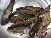 The Vietnamese black tiger shrimp, Penaeus monodon. Vietnamese black tiger shrimp, Penaeus monodon stock photography