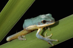 Vietnamese Blue Tree Frog Royalty Free Stock Image