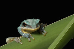 Vietnamese Blue Tree Frog Royalty Free Stock Images