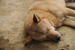 Vietnamese brown dog sleeping. Under the sun light in the afternoon Stock Images