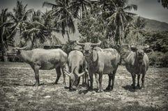 Vietnamese buffels Royalty-vrije Stock Afbeeldingen