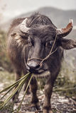 Vietnamese Cattle Stock Images