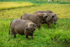 Vietnamese caws. At grass in the countryside Stock Images
