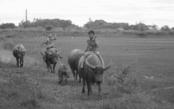 Vietnamese children riding water buffalo Stock Images