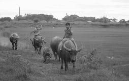 Vietnamese children riding water buffalo Stock Images