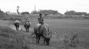 Vietnamese children riding water buffalo Stock Photo