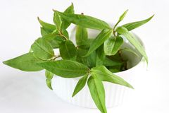 Vietnamese coriander Royalty Free Stock Images