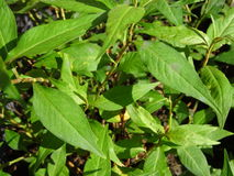Vietnamese coriander herbs Royalty Free Stock Photos