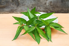 Vietnamese coriander plant. Fresh Vietnamese coriander plant in plate on wood table Stock Photography