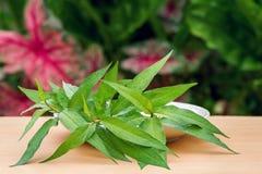 Vietnamese coriander plant. Fresh Vietnamese coriander plant in plate on wood table Stock Photo