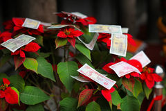 Vietnamese dong money offering on a christmas flower poinsettia Royalty Free Stock Photos