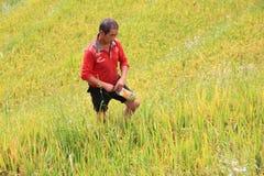 Vietnamese farmer choose good paddy for sell Stock Photos