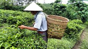 Vietnamese farmer collecting tea leafs stock image