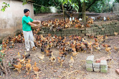 Vietnamese farmer feeding chicken by rice Stock Photos