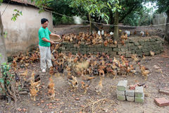 Vietnamese farmer feeding chicken by rice Stock Photo